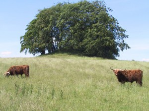 kvæg ved Ledreborg